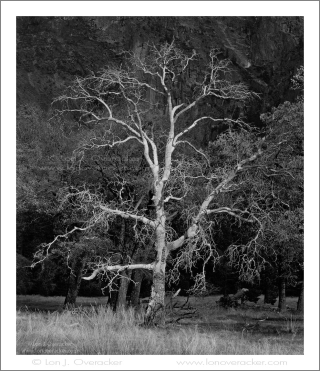 Spotlight on Black Oak, El Capitan Meadow,Yosemite NP. #42025SVBWBL