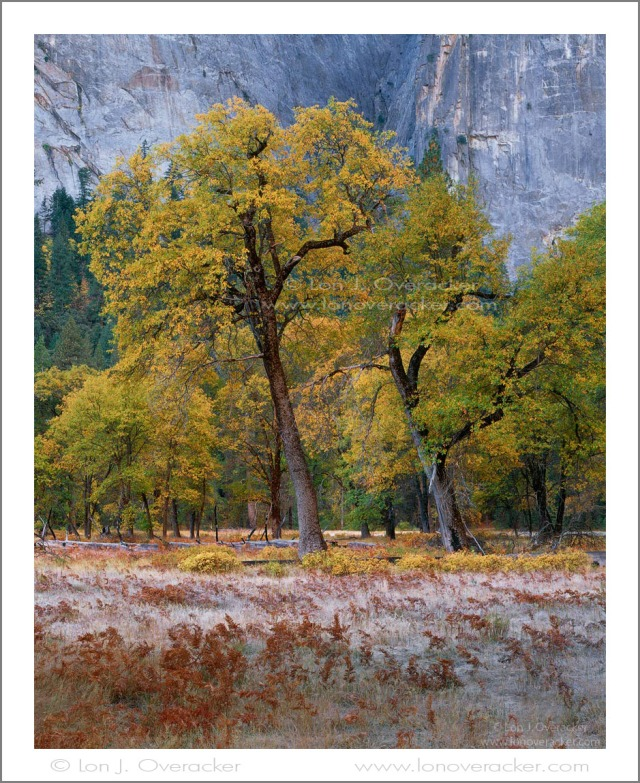 Twin Oaks Autumn II, El Capitan Meadow,Yosemite NP. #42097SV