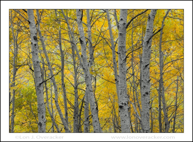 Got Aspens? Silver Lake, Eastern Sierra