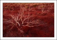 Red Sage, Mono Craters, Eastern Sierra