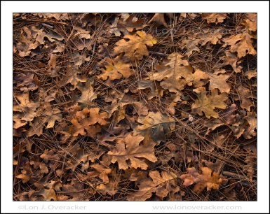 Black Oak Leaves, Golden, Yosemite